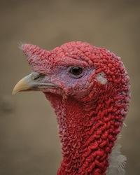turkey-399304_960_720
